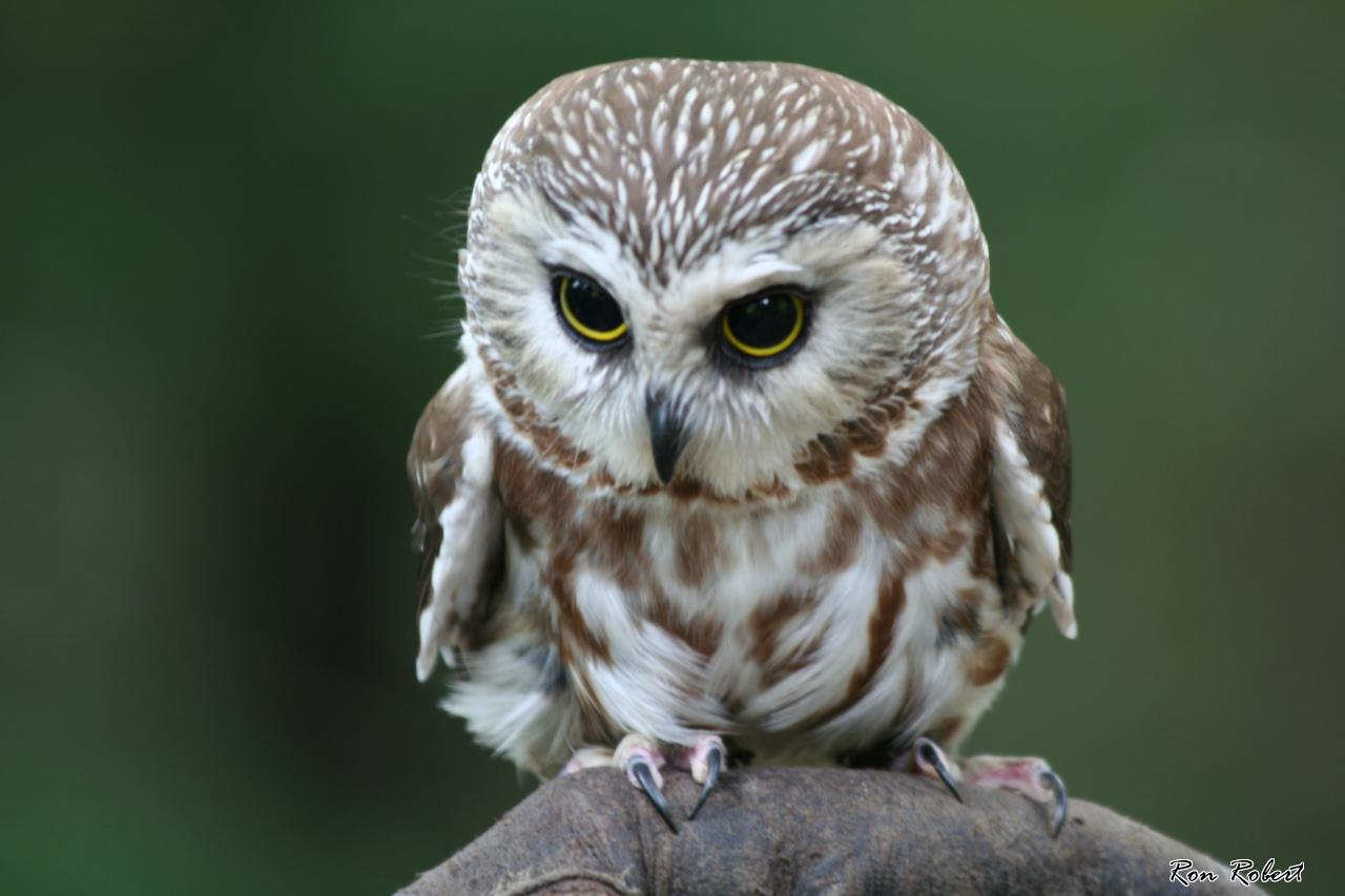 Owl 57 Saw Whet Owl wa...